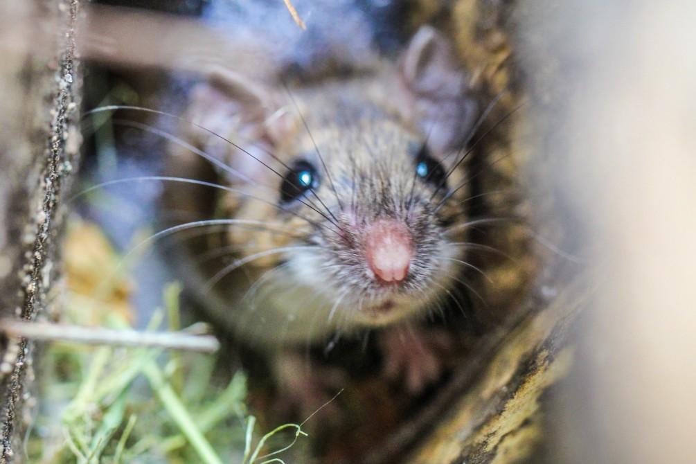 Comment gérer la présence de rats dans une entreprise ?